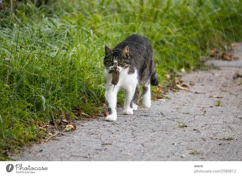 Cat carries a dead mouse in the mouth after the mouse hunt Nature Animal Pet Dead animal Mouse Pelt Claw 2 Eating Catch To feed Hunting Fight Soft Mouse Hunt