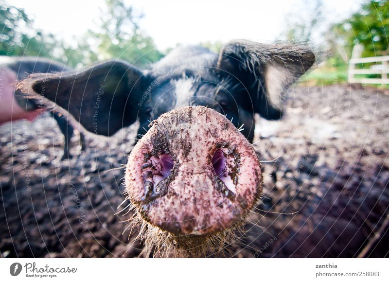 Nature Beautiful Animal Environment Germany Dirty Nose Curiosity Idyll Animal face Odor Swine Farm animal Bristles Close-up Pig's ear