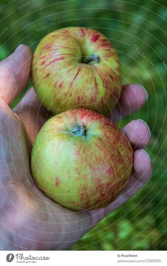 Two apples Fruit Apple Organic produce Vegetarian diet Garden Gardening Man Adults Hand Fingers Work and employment Select To hold on To enjoy Fruittree meadow