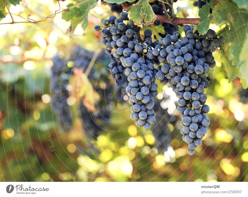 Sun-ripened. Environment Nature Landscape Plant Esthetic Wine To enjoy Debauchery Vine Vineyard Bunch of grapes Grape harvest Wine growing Agriculture Italy