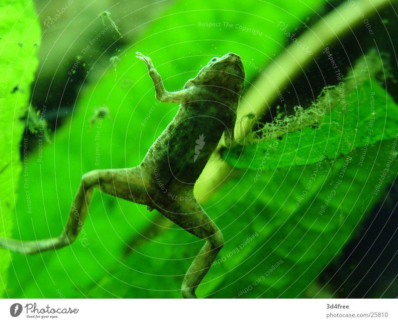 Frog stays frog. Aquarium Green Window pane bottom Stomach Plant pygmy clawed frog