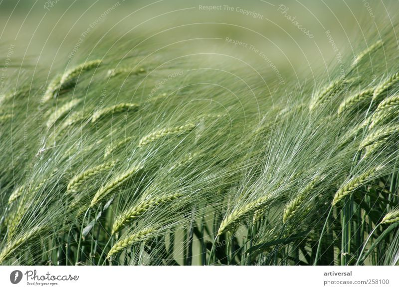 Early summer ears of corn Nature Animal Summer Plant Agricultural crop Field Emotions Wheat Wheatfield Wheat ear Foliage plant Green Colour photo Exterior shot