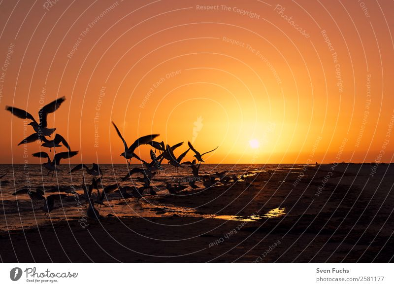 Birds at sunset on the beach Calm Vacation & Travel Summer Sun Beach Ocean Nature Landscape Plant Animal Sand Water Clouds Horizon Sunrise Sunset Flock To feed