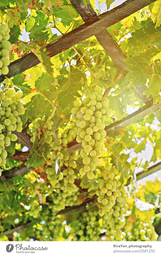 Close up view of fresh bunch of white grapes on field Nature Summer Plant Green White Sun Red Tree Leaf Autumn Natural Fruit Fresh Growth Italy Seasons
