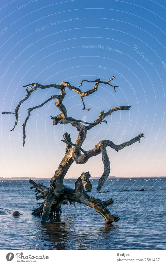 old weathered tree in the water Nature Water Cloudless sky Horizon Winter Beautiful weather Tree Waves Coast Beach Boddenlandscape NP Lie Stand Old Exceptional