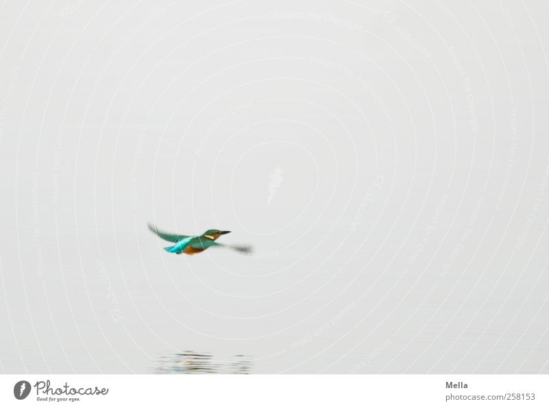 colors Environment Nature Animal Water Pond Lake Wild animal Bird Kingfisher 1 Movement Flying Free Bright Small Natural Speed Multicoloured Gray Freedom
