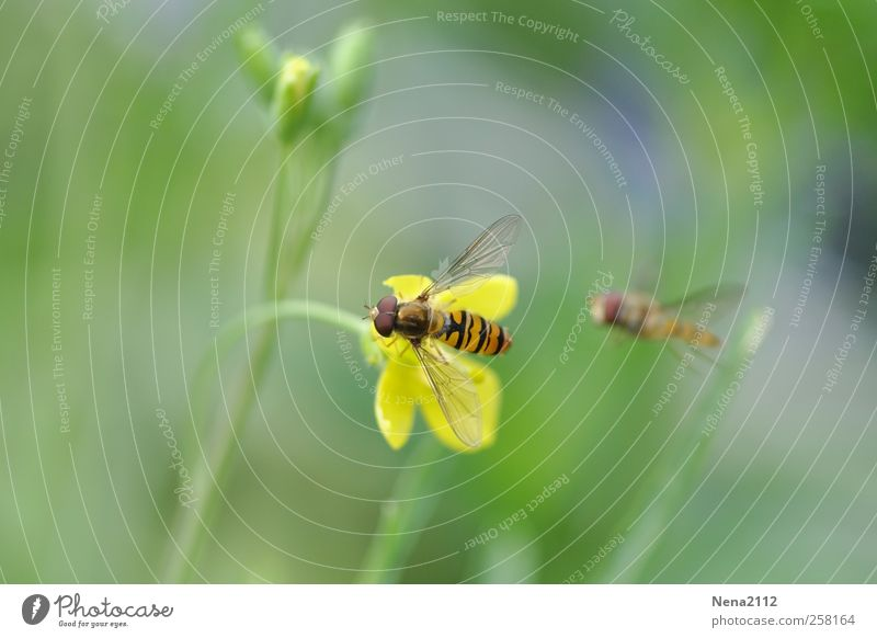 """""""Mine!"""" Nature Plant Animal Spring Summer Blossom Garden Meadow Field Fly Bee Wing 2 Flying Yellow Hover Hover fly Free Striped Marsh marigold Crowfoot"""