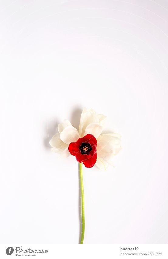 Floral background with red and white tulips Elegant Style Design Valentine's Day Nature Plant Flower Tulip Leaf Bouquet Natural Above Red White Love Colour