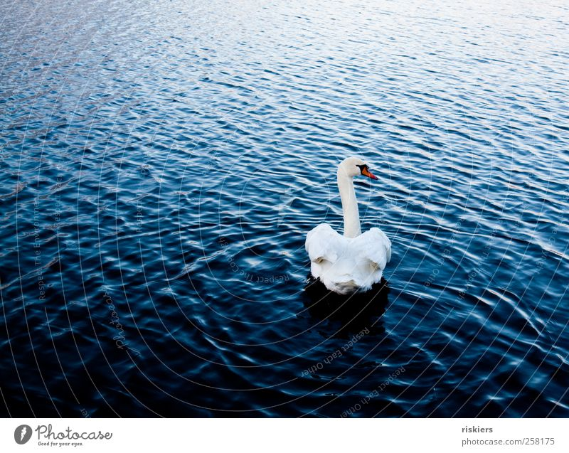 never look back Nature Water Lake Animal Wild animal Swan 1 Observe Swimming & Bathing Esthetic Elegant Blue White Attentive Watchfulness Calm Loneliness Past