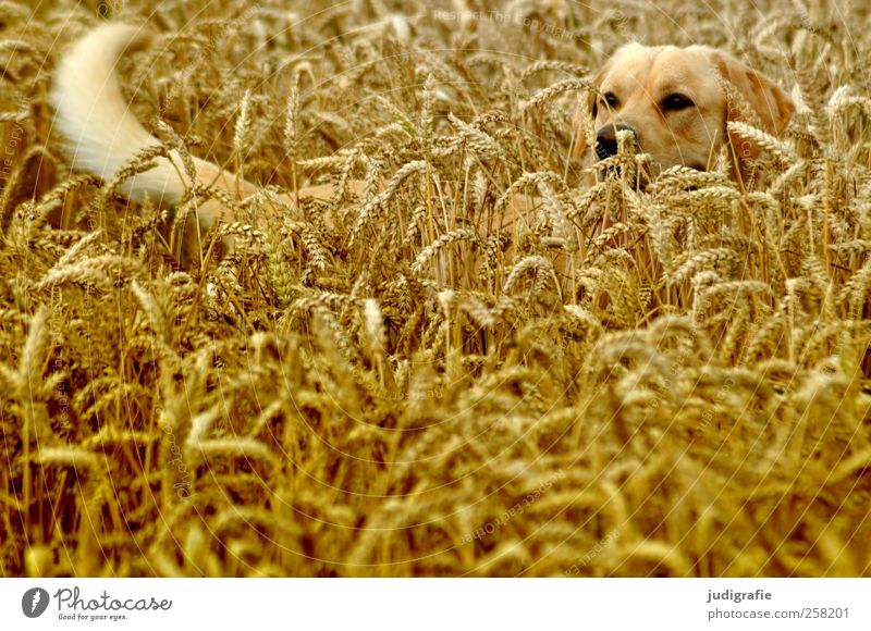 mimicry Nature Landscape Plant Summer Agricultural crop Field Animal Pet Dog 1 Natural Joy Protection Grain Hiding place Camouflage Colour photo Exterior shot