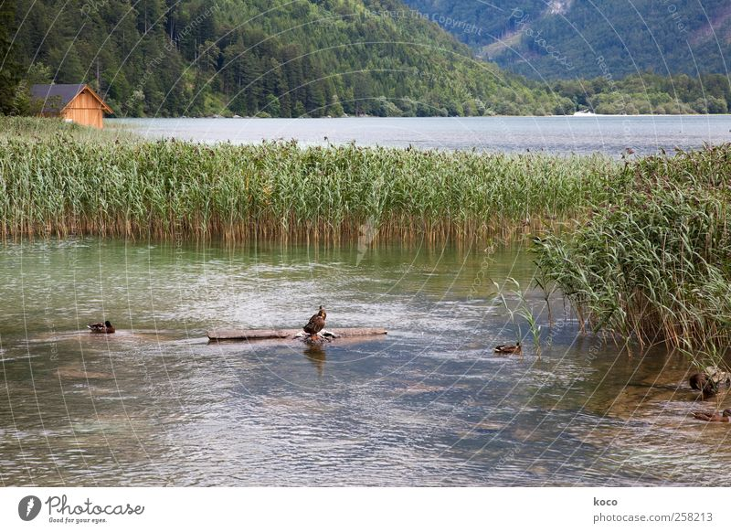 Cottage at the lake Nature Landscape Water Beautiful weather Common Reed Forest Waves Coast Lakeside Bay Hut Duck 3 Animal Wood Swimming & Bathing Fluid Wet