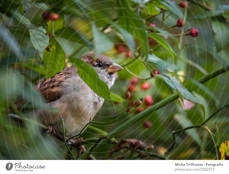 Sparrow in rose hip bush Nature Animal Sunlight Beautiful weather Bushes Leaf Rose hip Wild animal Bird Animal face Wing Claw Passerine bird Beak 1 Observe