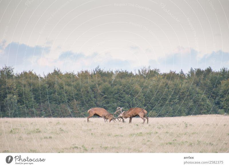 Red deer, Cervus elaphus, males fighting Expedition Nature Landscape Animal Autumn Forest Wild animal 2 Natural Emotions Wanderlust Adventure Aggression