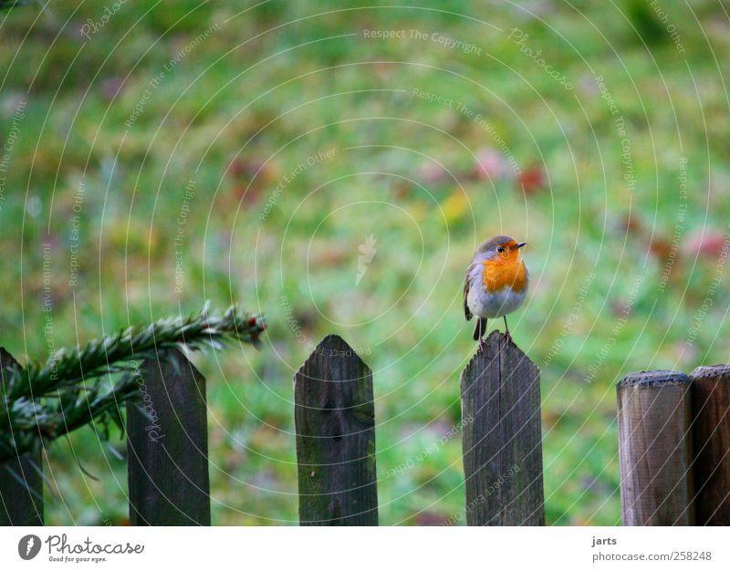 wrenless Animal Wild animal Bird 1 Think Listening Natural Nature Fence Garden Robin redbreast Colour photo Exterior shot Deserted Copy Space left