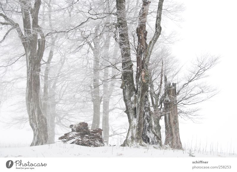 Baumloben | beautiful straight beeches Nature Plant Winter Bad weather Ice Frost Snow Snowfall Tree Field Forest Cold White Clump of trees Snowscape Picturesque