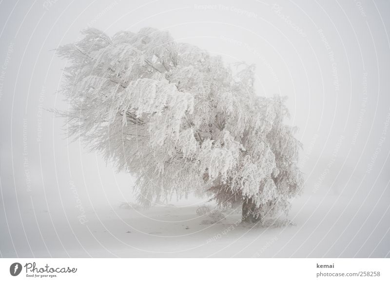 Baumloben | White Giant Environment Nature Landscape Plant Winter Bad weather Gale Fog Ice Frost Snow Snowfall Tree Foliage plant Wild plant Beech tree Field