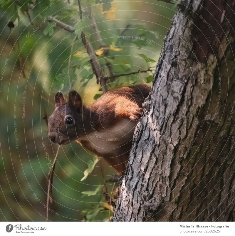 Curious squirrel on tree trunk Nature Animal Sunlight Beautiful weather Tree Leaf Forest Wild animal Animal face Pelt Paw Squirrel Ear Eyes 1 Observe Looking