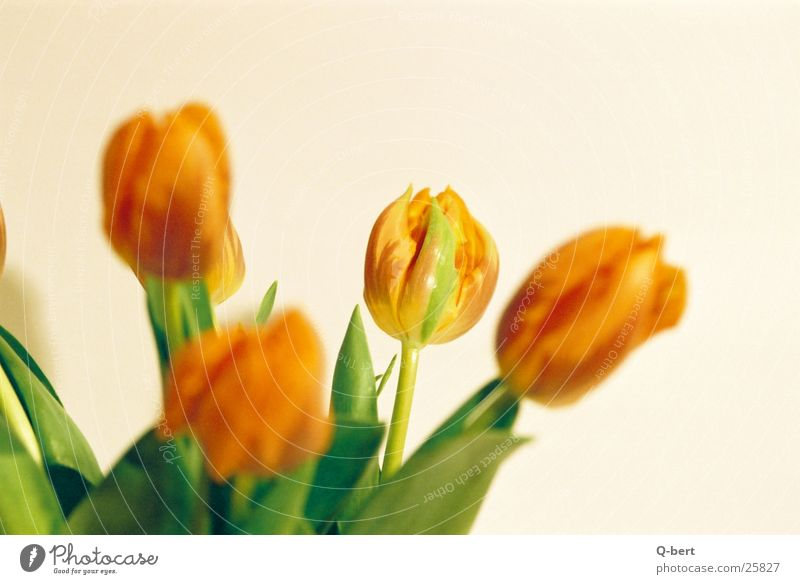 tulips Flower Tulip Style Blossom Photographic technology Detail Nature Bouquet Colour