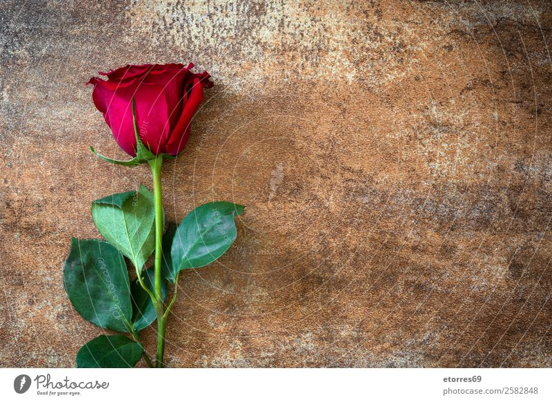 Red roses on rusty background Feasts & Celebrations Valentine's Day Mother's Day Wedding Flower Rose Natural Nature Romance Love Rust Copy Space Blossom leave