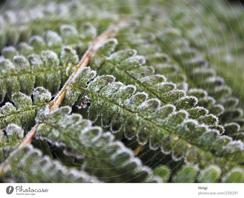 wintry... Environment Nature Plant Winter Ice Frost Fern Leaf Foliage plant Wild plant Growth Esthetic Exceptional Cold Natural Brown Green White Bizarre