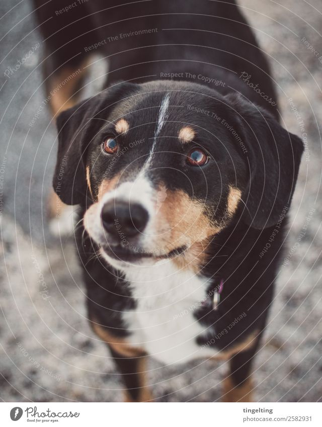 snute Animal Pet Dog Animal face Pelt 1 Listening Love Looking Wait Happy Near Cute Smart Soft Brown Gray Orange Black Trust Appenzell Mountain Dog Eyes pout