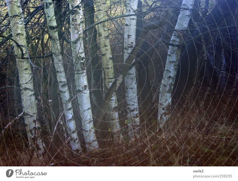 Blue light in the birch grove Environment Nature Landscape Plant Autumn Climate Weather Beautiful weather Tree Bushes Wild plant Birch tree Birch bark Forest