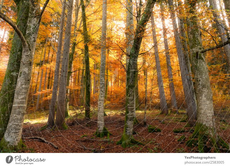 Autumn forest with sun and shadows Nature Beautiful weather Tree Leaf Park Forest Vacation & Travel Bright Natural Yellow Gold Distress Bavaria Fussen Germany