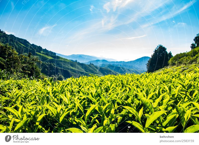 it's teatime Vacation & Travel Tourism Trip Adventure Far-off places Freedom Nature Landscape Sky Clouds Tree Leaf Agricultural crop Tea plants Tea plantation
