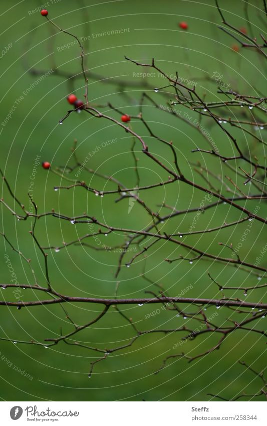 Nature Plant Green Autumn Garden Park Weather Rain Gloomy Bushes Climate Drops of water Wet Simple Twig Berries