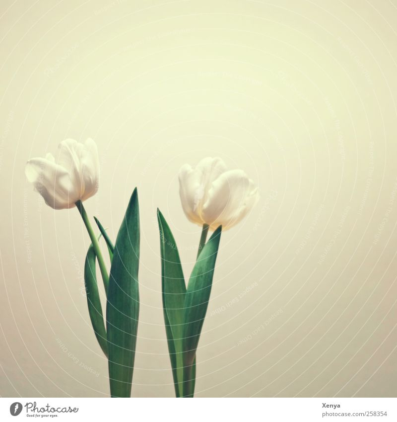 two Plant Flower Tulip Retro Green White Spring fever Calm In pairs Side by side Looking away Subdued colour Interior shot Deserted Copy Space top