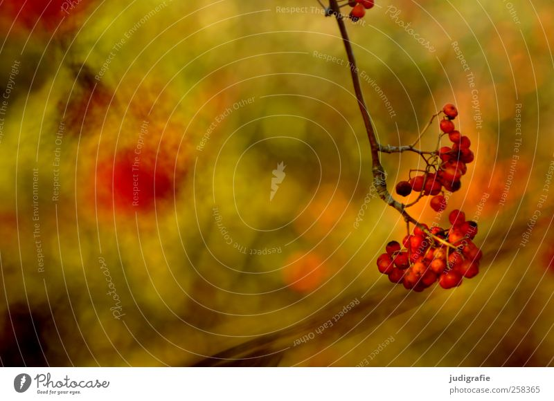 red Environment Nature Plant Autumn Tree Garden Park Forest Growth Natural Warmth Wild Red Berries Colour photo Exterior shot Detail Blur