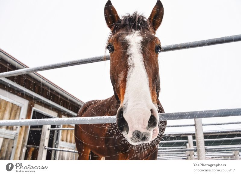 Horse looking at camera while snowing Winter Snow Nature Animal Snowfall Farm animal Animal face Friendliness Cold Funny Cute Brown White Delightful agriculture