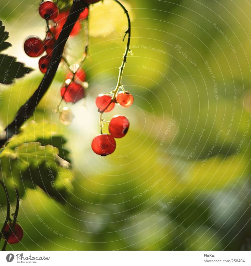wild berries Fruit Environment Nature Plant Sunlight Summer Beautiful weather Bushes Leaf Wild plant Park Hang Illuminate Healthy Bright Delicious Natural Round