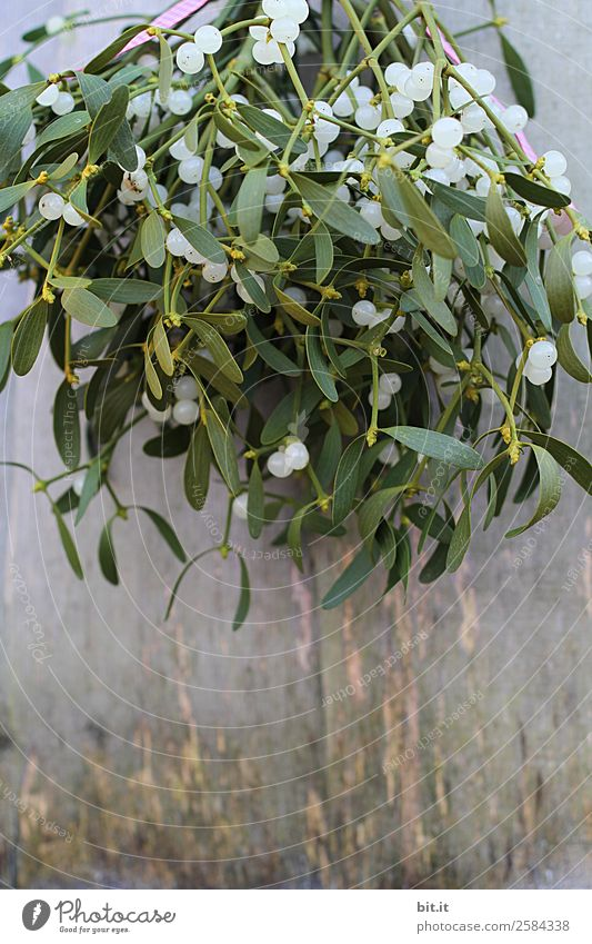 Nature Healthy Eating Plant Green Winter Health care Decoration Sign Hope Hang Alternative medicine Therapy Cancer Mistletoe Mistletoe plants