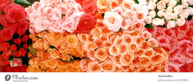 sea of roses Rose Flower Flower stall Markets Pink