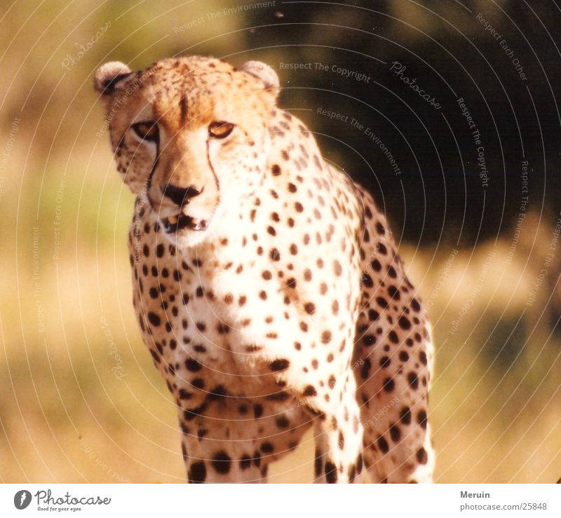 Movement Cat Speed Wild animal Steppe Kenya Land-based carnivore Big cat Cheetah