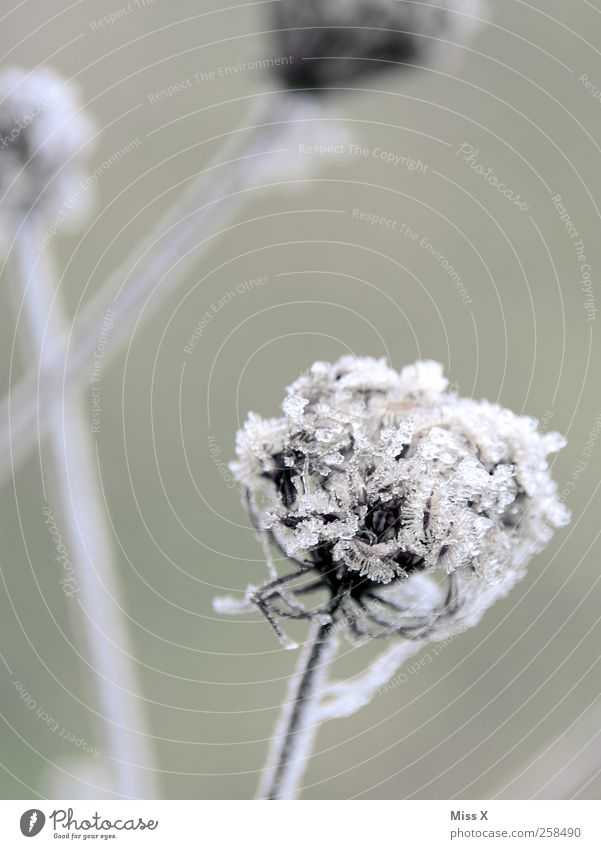 Nature Plant Winter Flower Leaf Cold Environment Blossom Weather Ice Frost Bushes Frozen Hoar frost