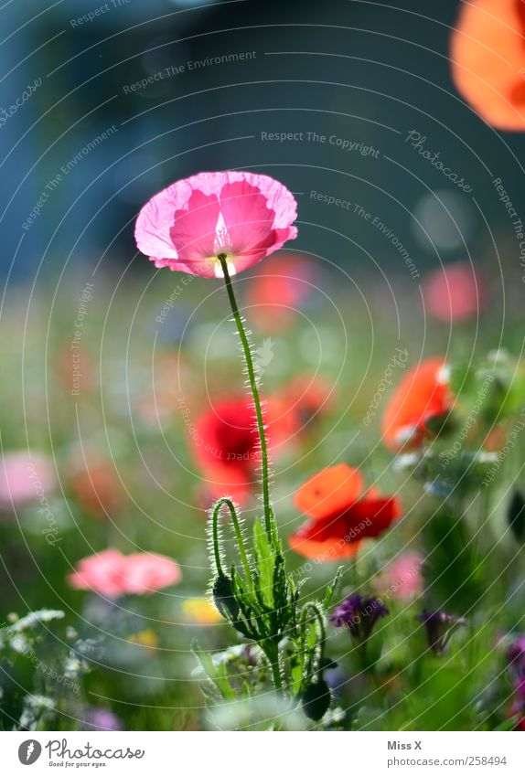 girl's photo Nature Spring Summer Plant Flower Leaf Blossom Garden Meadow Blossoming Fragrance Pink Poppy Poppy blossom Flower meadow Colour photo Multicoloured