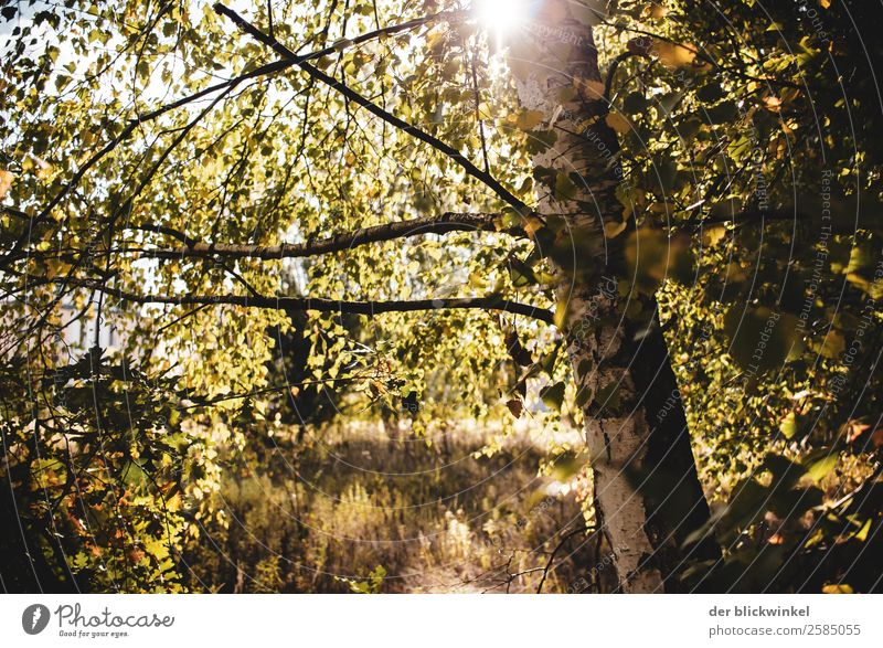 Autumn mood with birch Environment Nature Sun Beautiful weather Tree Birch tree Forest Wood Emotions Moody Joy Happy Happiness Contentment