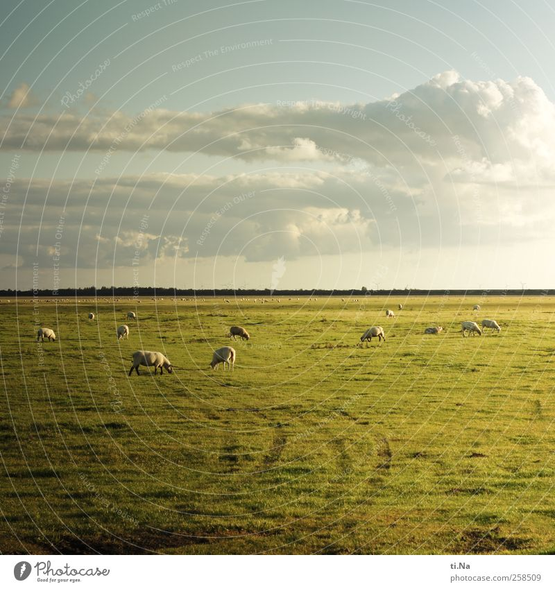 Behind the horizon it goes on Grass Dithmarschen Schleswig-Holstein Farm animal Sheep Flock Group of animals Herd To feed Infinity Blue Green Tourism Wet meadow
