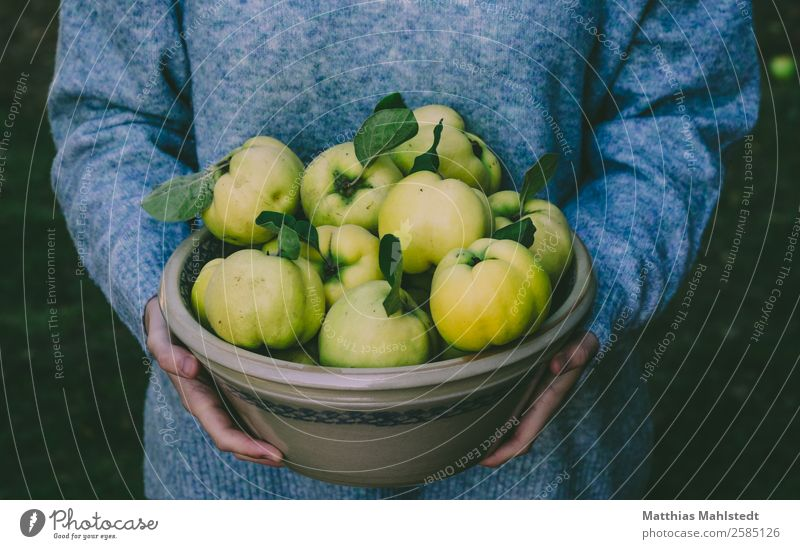 quince harvest Food Fruit Quince Bowl Human being Feminine Young woman Youth (Young adults) Body Arm Hand 1 18 - 30 years Adults Carrying Natural Blue Yellow