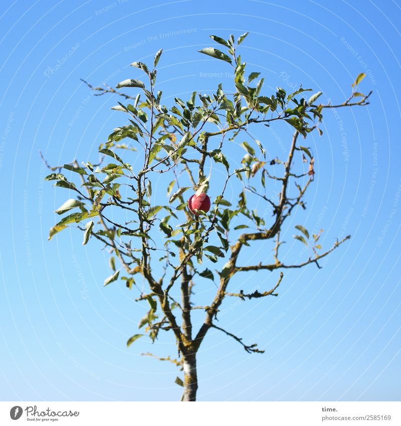 Last Order Knowledge Environment Nature Plant Sky Autumn Beautiful weather Tree Apple Apple tree Apple harvest Happiness Natural Self-confident Life Endurance