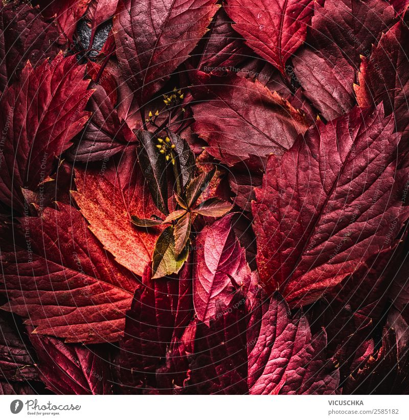 Red autumn leaves Style Design Nature Autumn Leaf Decoration Background picture September Autumn leaves October November Dark Colour photo Studio shot