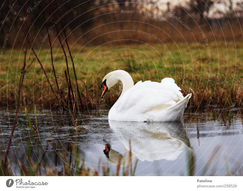 Beautiful all year round Environment Nature Plant Elements Water Meadow Coast Lakeside Pond Animal Wild animal Bird Swan Wing Wet Natural White Metal coil