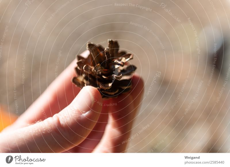 Nature Hand Forest Environment Brown To go for a walk Harvest Collection Sustainability Senses Cone Pine cone Fir cone