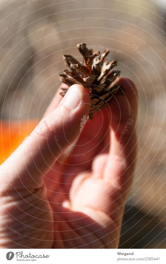 pine cone Calm Meditation Fragrance Beautiful weather Plant Tree Forest Simple Brown To console Grateful Autumn Pine cone Cone Thanksgiving To hold on