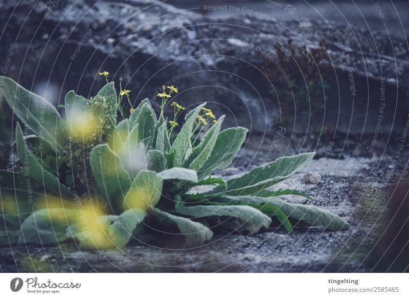 weeds Environment Nature Plant Flower Leaf Blossom Foliage plant Wild plant Stone Concrete Blossoming Fragrance Blue Yellow Gray Green Weed Asphalt
