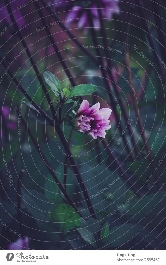 come loose Environment Nature Plant Flower Leaf Blossom Garden Blossoming Green Violet Black Bud Near Moody Dark Cold Beautiful Minimalistic Stalk depth