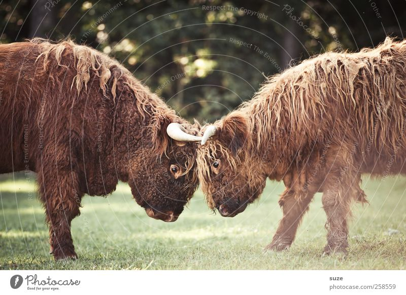nature boys Environment Nature Animal Meadow Field Pelt Farm animal Animal face 2 Baby animal Fight Argument Cuddly Funny Cute Wild Might Calf Cattle Pasture