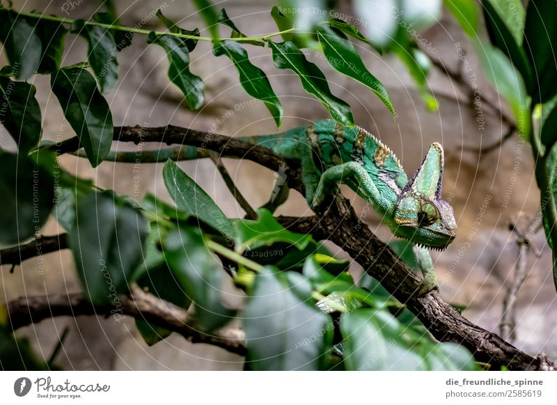 chameleon Nature Animal Bushes Leaf Virgin forest Berlin Germany Europe Wild animal Aquarium Chameleon 1 Brown Green Branch Climbing Hide Slowly Iguana Saurians